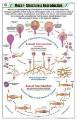 Mucor -Structure& Reproduction Chart