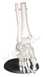 Foot Joint For Bones & Skeleton Model
