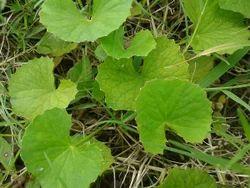 Centella Asiatica (Gotukola 10%)