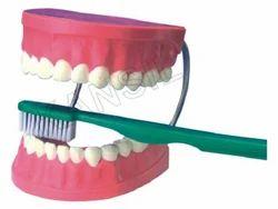 Dental Care For Anatomical Model