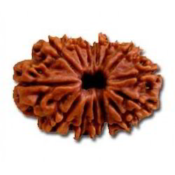 Fourteen Faced Rudraksha