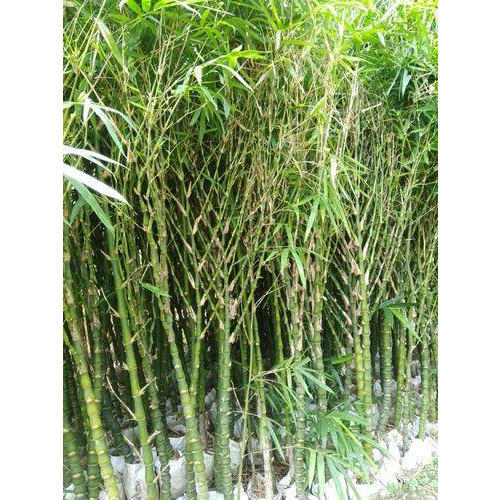 lucky bamboo plants buddha bamboo plant manufacturer from saharanpur