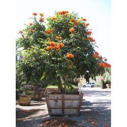 Specimen Plant