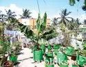 Plantain Tree In Grow Bags