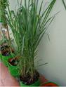 Lemon Grass Plant Bag