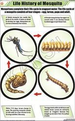 Life History of Mosquito For Zoology Chart