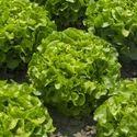 Kristine Lettuce Seeds