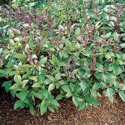 Basil Seed / Sabja Seed / Tukmariya Seed