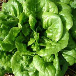 Lettuce Seed- Iceberg Seeds