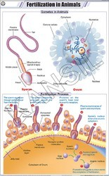 Fertilization In Animals For Zoology Chart