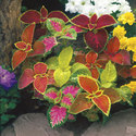 Coleus Root Free From Pestisides