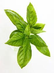 Linalool Ex Basil Oils