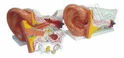 Anatomical Model Ear Model