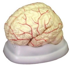 Brain With Arteries For Brain Nervous System Model