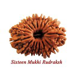 Sixteen Faced Rudraksha Beads
