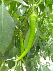 Habib RZ F1 Hot Pepper Seeds