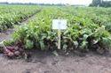 Beetroot Seeds