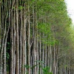 Agarwood Seeds SBAW0044