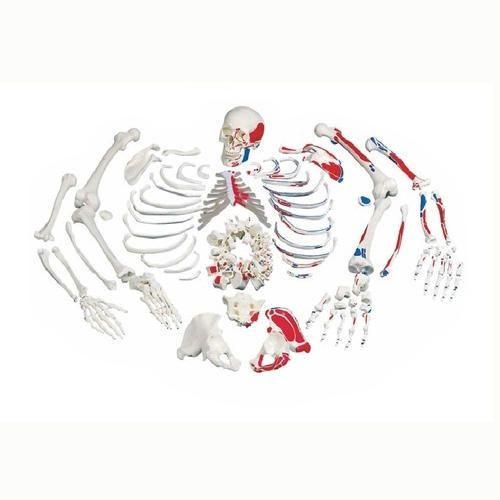 Skeleton Models - Life-Size Foot Joint Model Importer from Kolkata