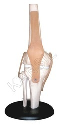 Knee Joint For Bones & Skeleton Model