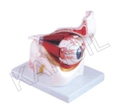 Eye With Orbit For Anatomical Model