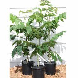 Spathodea Campanulata Plant
