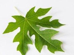 Papaya Leaf (1%) Extract