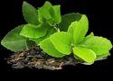 Herbal Green Tea Extract