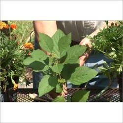 Plant Pest Control Service