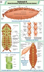 Cockroach II For Zoology Chart