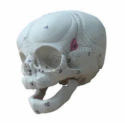 Human Fetal Skull Anatomical Model