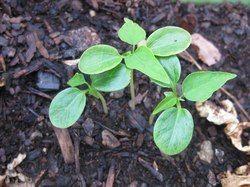 Pappaya Seeds (Herb) Extract