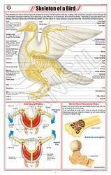 Skeleton Of A Bird ( Pigeon)  For Zoology Chart