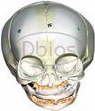Skull Fetal Bone Model