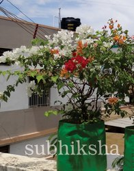 Bougainvillea in Grow Bags