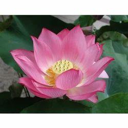 Indian Lotus Attar Oil