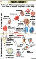 Malaria Parasite For Zoology Chart