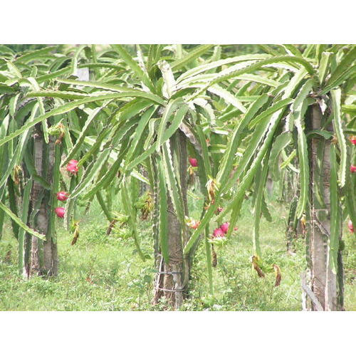 Fruit Plants Dragon Fruit Plant Exporter From Pune