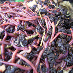 Organic Earthworm Cast