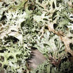 Oak Moss Absolute