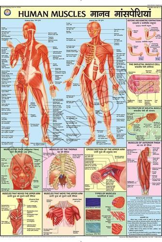 Human Physiology Chart  Human Muscles For Human