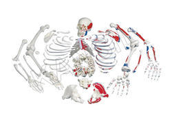Disarticulated Painted Skeleton For Bones & Skeleton Model