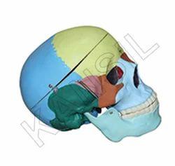 Life Size Coloured Skull For Anatomicla Model