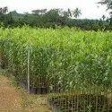 Agarwood Seeds SBAW0043