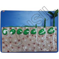 Dicot Seed Germination For Botany Model