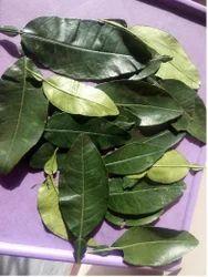 Kaffir Leaf