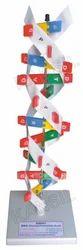 DNA Anatomical Model