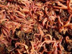 Earthworms Supplier In Chennai