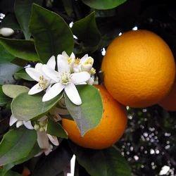 Orange Blossom Hydrosol Floral Water