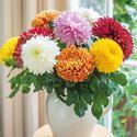 Chrysanthemum Extract